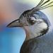 Urracas Hermosas - Photo (c) Jerry Oldenettel, algunos derechos reservados (CC BY-NC-SA)