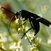 Mexican Tarantula-hawk Wasp - Photo (c) psweet, some rights reserved (CC BY-SA)