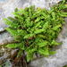 Green Spleenwort - Photo (c) Nicholas Turland, some rights reserved (CC BY-NC-ND)