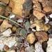 Eriogonum nudum oblongifolium - Photo (c) Corey Lange, μερικά δικαιώματα διατηρούνται (CC BY-NC)
