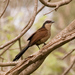 Senegal Coucal - Photo (c) Thom Haslam, some rights reserved (CC BY)