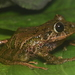 Pristimantis fetosus - Photo (c) Sebastián Duarte Marín, algunos derechos reservados (CC BY-NC)