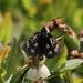 Androloma maccullochii - Photo (c) Mike V.A. Burrell, algunos derechos reservados (CC BY-NC)