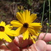 Coreopsis falcata - Photo (c) Andy Newman, algunos derechos reservados (CC BY-NC)