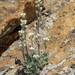 Cushion Draba - Photo (c) matsonburger, some rights reserved (CC BY-NC)
