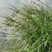 Bolboschoenus maritimus - Photo (c) Almantas Kulbis, μερικά δικαιώματα διατηρούνται (CC BY-NC)