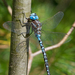 Neotropical Darners - Photo (c) Susan Elliott, some rights reserved (CC BY-NC)