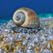 Giant Tun Snail - Photo (c) Stergios Vasilis, some rights reserved (CC BY-NC-ND)