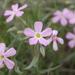 Phlox longifolia - Photo (c) Tony Frates, μερικά δικαιώματα διατηρούνται (CC BY-NC-SA)