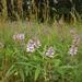 Orbexilum pedunculatum - Photo (c) Royal Tyler, algunos derechos reservados (CC BY-NC-SA)