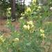 Baptisia nuttalliana - Photo (c) Royal Tyler,  זכויות יוצרים חלקיות (CC BY-NC-SA)