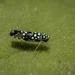 Trypanalebra maculata - Photo (c) Felix Fleck, algunos derechos reservados (CC BY-NC)