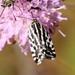 Acontia trabealis - Photo (c) Martin Grimm,  זכויות יוצרים חלקיות (CC BY-NC)