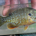 Greengill Sunfish - Photo (c) Koaw Nature, some rights reserved (CC BY-NC)