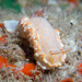 Snow-goddess Nudibranch - Photo (c) 104623964081378888743, some rights reserved (CC BY-NC), uploaded by David R