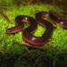 Eastern Worm Snake - Photo (c) Robby Deans, some rights reserved (CC BY-NC)