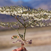 Eriogonum brachypodum - Photo (c) matsonburger, algunos derechos reservados (CC BY-NC)