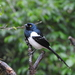 Magpie Tanager - Photo (c) Nelson Wisnik, some rights reserved (CC BY-NC)