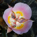 Siskiyou Mariposa Lily - Photo (c) dgreenberger, some rights reserved (CC BY-NC-ND)