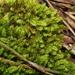Racopilum cuspidigerum - Photo (c) Em Lamond, some rights reserved (CC BY-NC)
