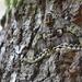 Brahmaea japonica - Photo (c) harum.koh, algunos derechos reservados (CC BY-SA), uploaded by harum.koh