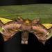 Polillas de Seda - Photo (c) Steven Easley, algunos derechos reservados (CC BY-NC)