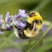 White-tailed Bumble Bee - Photo (c) paulsch, some rights reserved (CC BY-NC)