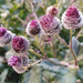 Woolly Burdock - Photo (c) Dina Nesterkova, some rights reserved (CC BY-NC)