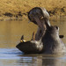 Hippopotamus - Photo (c) Arno Meintjes, some rights reserved (CC BY-NC)