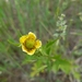 Yellow Avens - Photo (c) cassi saari, some rights reserved (CC BY-NC)