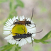 Stenopterus ater - Photo (c) fausto, some rights reserved (CC BY-NC-ND)