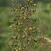 Scrophularia nodosa - Photo (c) else15,  זכויות יוצרים חלקיות (CC BY-NC), uploaded by Michael