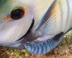 Image of Anilocra acanthuri