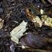 Megophrys montana - Photo (c) Rahayu Oktaviani, algunos derechos reservados (CC BY-NC)