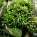 Dicranella staphylina - Photo (c) georgeg, algunos derechos reservados (CC BY-NC)