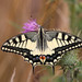 Old World Swallowtail - Photo (c) Martin Grimm, some rights reserved (CC BY-NC)