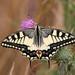 Mariposa Cometa Macaón - Photo (c) Martin Grimm, algunos derechos reservados (CC BY-NC)