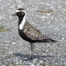 American Golden-Plover - Photo (c) andriy, some rights reserved (CC BY-NC)