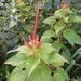 Acalypha ocymoides - Photo (c) damianberra,  זכויות יוצרים חלקיות (CC BY-NC)