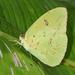 Phoebis sennae marcellina - Photo (c) Cheryl Harleston López Espino, some rights reserved (CC BY-NC-ND)
