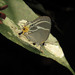 Terenthina bradyae - Photo (c) Indiana Cristo, μερικά δικαιώματα διατηρούνται (CC BY-NC)