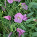 Convolvulus chinensis - Photo (c) Anna Vedrova, some rights reserved (CC BY-NC)