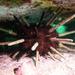 Phyllacanthus parvispinus - Photo (c) John Turnbull, osa oikeuksista pidätetään (CC BY-NC-SA)