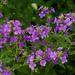 Hesperis matronalis - Photo (c) Owen Wolter, algunos derechos reservados (CC BY-NC-ND)