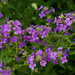 Hesperis matronalis - Photo (c) Owen Wolter,  זכויות יוצרים חלקיות (CC BY-NC-ND)