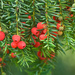 Common Yew - Photo (c) Jonathan Tyler, some rights reserved (CC BY-NC-SA)