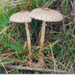 Macrolepiota clelandii - Photo (c) Petra White, algunos derechos reservados (CC BY-NC-ND)