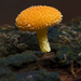 Golden-scruffy Collybia - Photo (c) JJ Harrison, some rights reserved (CC BY-SA)