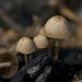 Psathyrella pennata - Photo (c) Tatiana Bulyonkova, algunos derechos reservados (CC BY-NC-SA)