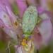 Plagiognathus chrysanthemi - Photo (c) Ryan Hodnett, algunos derechos reservados (CC BY-SA)